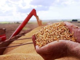 A colheita da soja está tecnicamente encerrada (99%) no RS. Assim, restando uma pequena área em maturação a ser colhida. De acordo com o Informativo