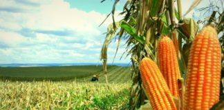 As exportações brasileiras do cereal podem chegar à 37 milhões de toneladas em 2019. Dessa forma, representando um novo recorde.