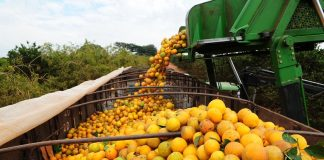 A colheita de laranja começou nas principais áreas produtoras no país. Com o clima favorável, a produção da laranja deve ser 36% maior