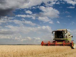 A colheita de trigo noParanáestá decepcionando e a produção no estado pode cair até 18% em relação ao previsto no início da safra.