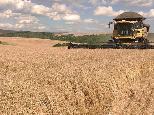 No Rio Grande do Sul, produtores de trigo estão preocupados com o excesso de chuva. Isso porque a umidade está prejudicando as lavouras
